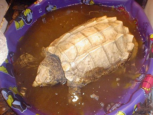 Chelydra org - Snapping Turtle Page - snapper information photo
