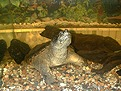 [ Munin - Common Snapping Turtle ]