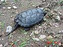 [ Common Snapping Turtle ]