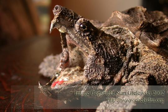 alligator snapping turtle - head