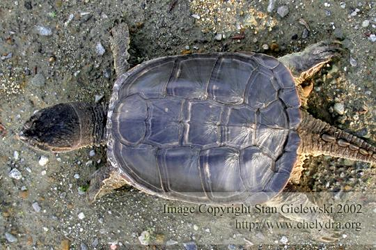common snapping turtle - carapace