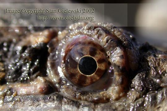 common snapping turtle - eye