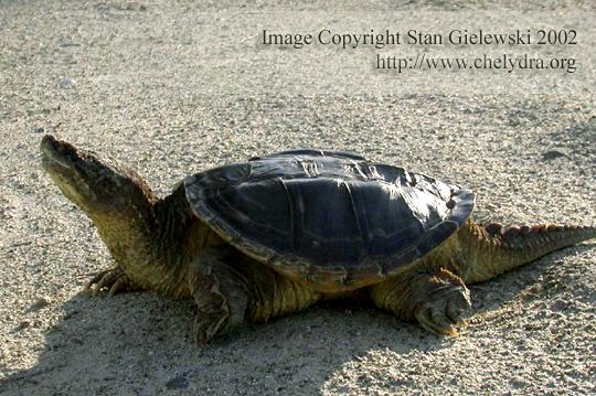 alligator snapping turtle - side